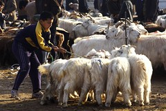 cattle-like mammal, animal, mammal, goats, herd, goatherd, herding,