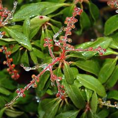flower(0.0), produce(0.0), evergreen(1.0), shrub(1.0), leaf(1.0), tree(1.0), plant(1.0), arctostaphylos uva-ursi(1.0), herb(1.0), flora(1.0),