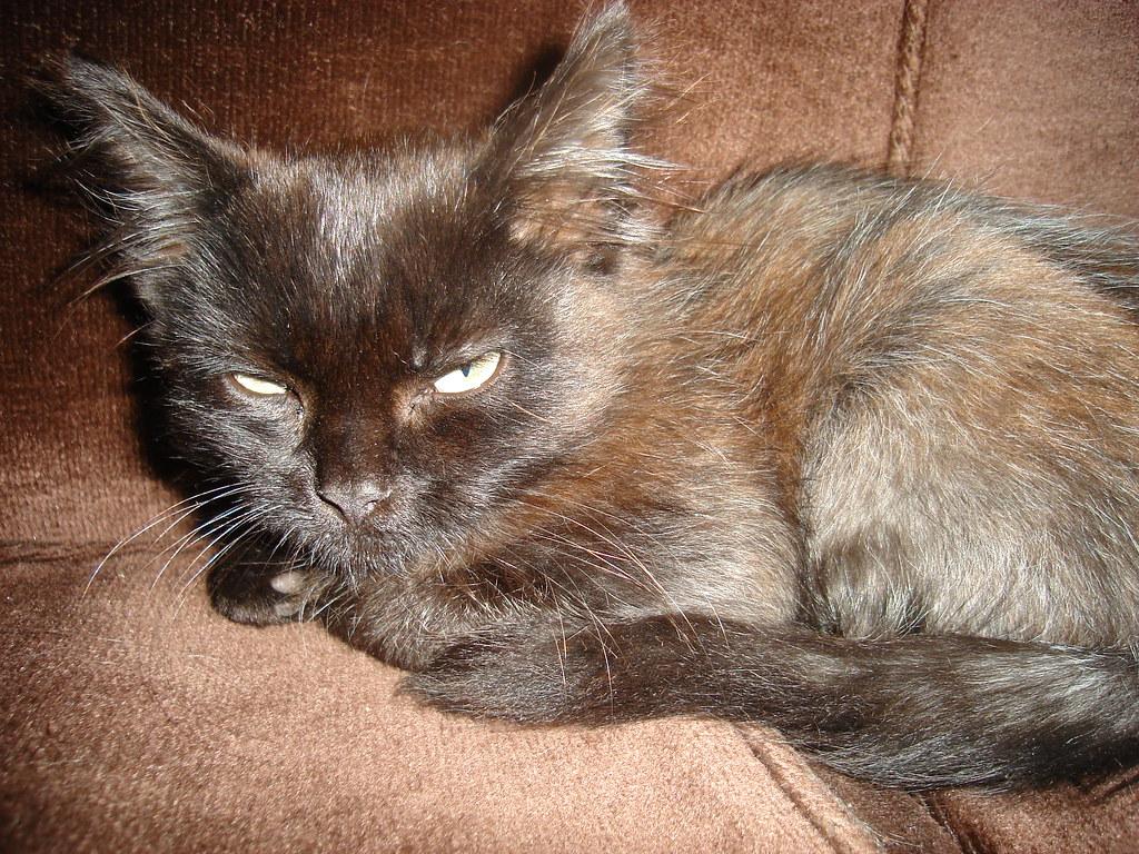 foster kitten Macchiato