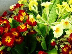 lantana camara(0.0), pansy(1.0), annual plant(1.0), flower(1.0), yellow(1.0), plant(1.0), flora(1.0), herbaceous plant(1.0), petal(1.0),