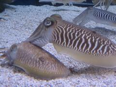 animal(1.0), molluscs(1.0), cephalopod(1.0), marine biology(1.0), fauna(1.0), cuttlefish(1.0),