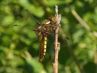 Libélula 2 / Dragonfly