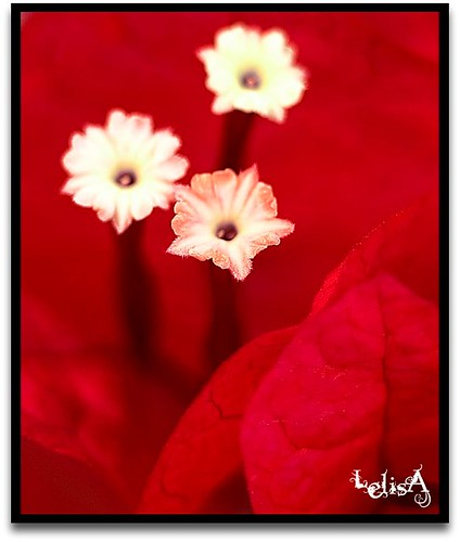 Red Bougainvillae