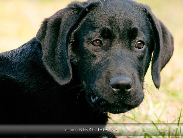 Black Labrador Retriever Puppy   Flickr - Photo Sharing!
