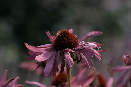 Coneflower by rosewoodoil