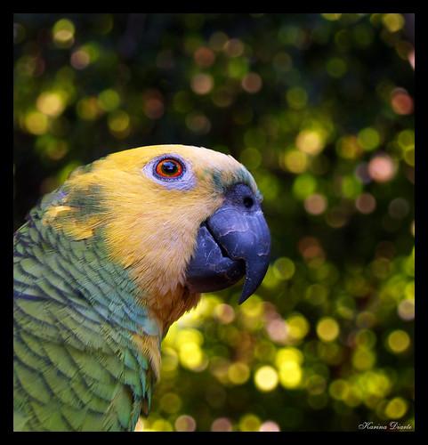 bokeh paraguay loro e500 naturesfinest amazonaaestiva turquoisefrontedparrot theunforgettablepictures karinadiarte