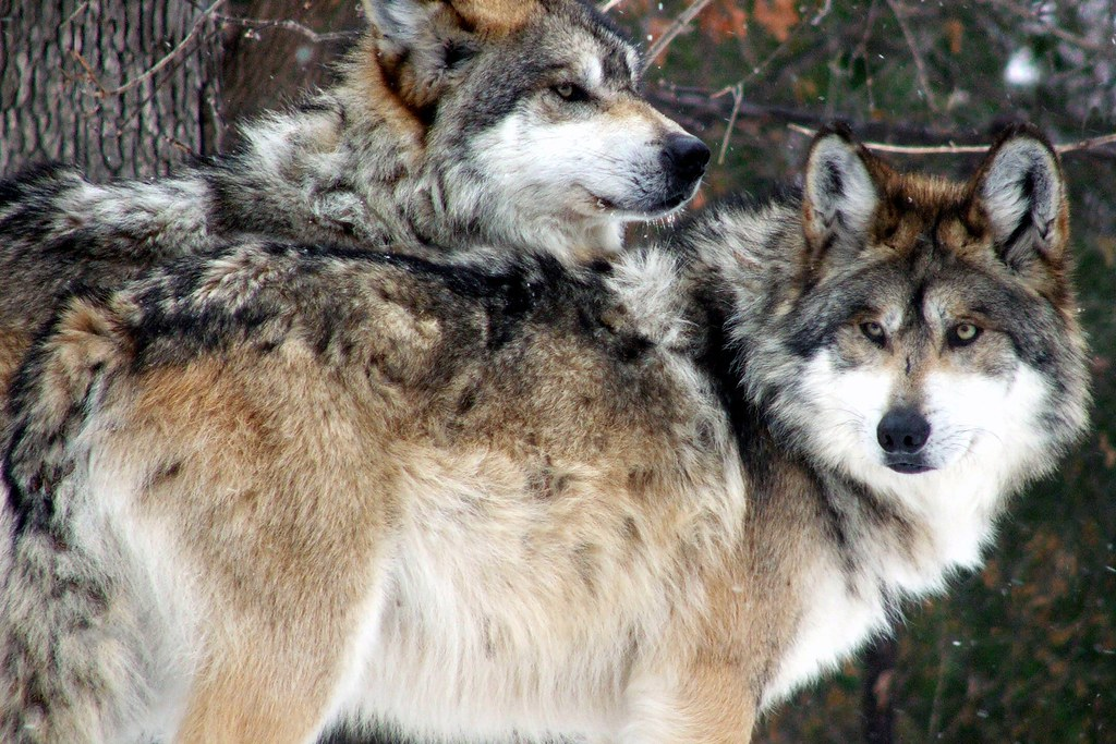 Mexican Wolves-Double Trouble