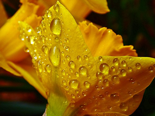Daffodil After the Rain