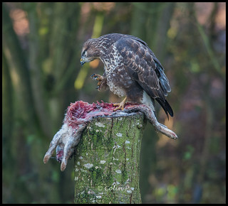 Buzzard (Buteo buteo) ......... Wild not Captive ( Marton Heath )
