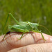 Long-horned Orthoptera - Photo (c) Bas Kers, some rights reserved (CC BY-NC-SA)