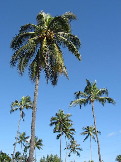 Coconut Palm Trees | Flickr - Photo Sharing!