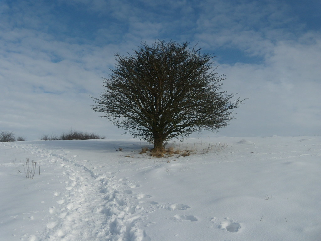 Tree in the snow Tring to Berkhamsted