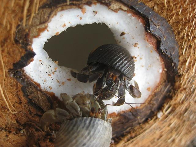 Hermit crabs eating coconut