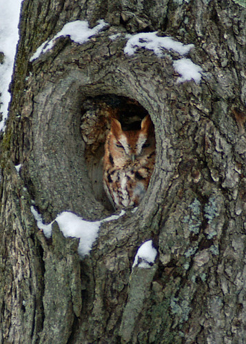 Red phase Eastern Screech Owl (Megascops asio)   New York | by avicentric