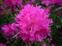 blossom(0.0), azalea(0.0), annual plant(1.0), shrub(1.0), flower(1.0), rhododendron(1.0), plant(1.0), flora(1.0), pink(1.0), petal(1.0),