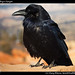 Crow, Bryce Canyon