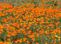 annual plant, prairie, eschscholzia californica, flower, field, plant, wildflower, meadow, poppy,