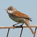 Whitethroat - Photo (c) Mark Kilner, some rights reserved (CC BY-NC-SA)