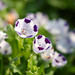faimily of Nemophila