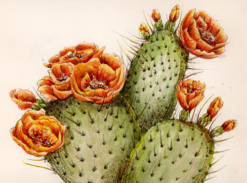 prickly pear cactus 2004 watercolor amp ink drawing flickr