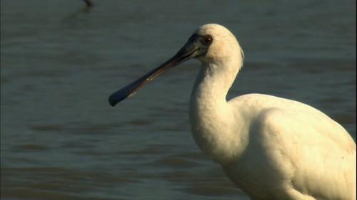 黑面琵鷺。圖片來源:公共電視