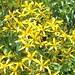 Bidens Micrantha subsp. kalealaha