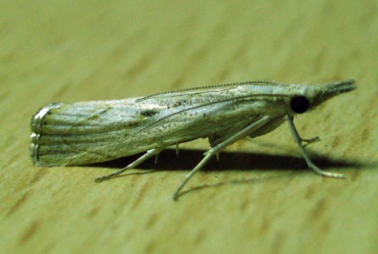 Agriphila geniculea 4567332342_b8aac1e533_o