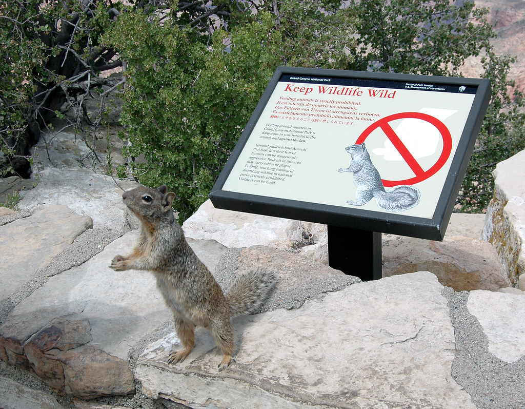Grand Canyon Nat. Park: Rock Squirrel 0253