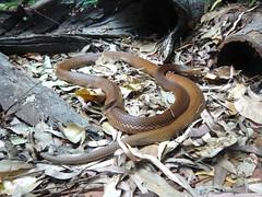 boas(0.0), boa constrictor(0.0), hognose snake(0.0), garter snake(0.0), sidewinder(0.0), kingsnake(0.0), animal(1.0), serpent(1.0), snake(1.0), reptile(1.0), grass snake(1.0), fauna(1.0), viper(1.0), scaled reptile(1.0), wildlife(1.0),