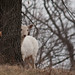 An Argonne White deer by paul.a.r