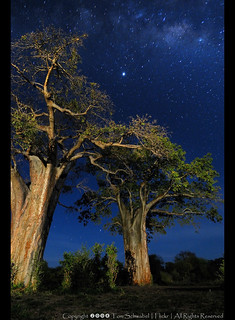 Baobabs Under the Milky Way