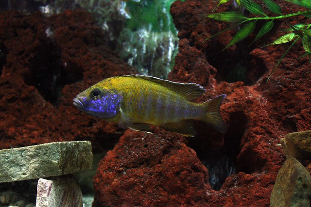 Malawi Peacock Cichlid by Chrissy Flickr - Photo Sharing!