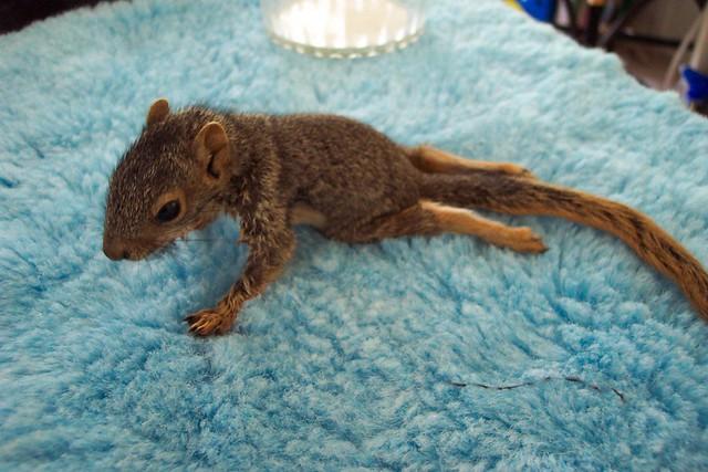 Paralyzed baby tree squirrel, Mary Cummins | Flickr ...
