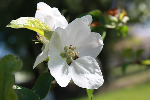 Apple Blossoms Driftless Wisconsin