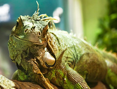 Iguana (My Alter Ego)