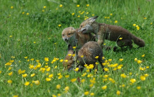 Les jeunes renardeaux