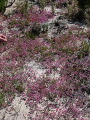 Polygonaceae - Chorizanthe pungens var. hartwegiana - Ben Lomond spineflower - Bonny Doon