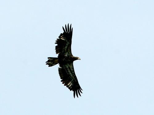 Bald Eagle 20090615