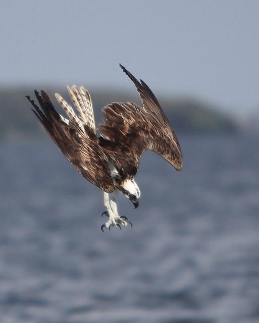 diving osprey
