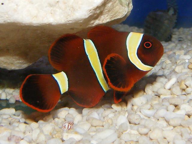 Maroon clown fish premnas biaculeatus flickr photo for Clown fish size
