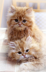 domestic short-haired cat(0.0), domestic long-haired cat(1.0), exotic shorthair(1.0), animal(1.0), persian(1.0), kitten(1.0), small to medium-sized cats(1.0), pet(1.0), cat(1.0), carnivoran(1.0), whiskers(1.0),