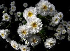 blossom(0.0), candytuft(0.0), marguerite daisy(0.0), tanacetum parthenium(0.0), produce(0.0), flower(1.0), plant(1.0), chamaemelum nobile(1.0), flora(1.0), chrysanths(1.0),
