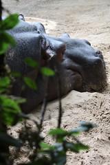 hippo dreams