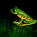 Small photo of Red-eyed Treefrog Agalychnis callidryas