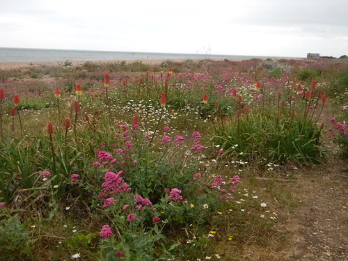 Redhot poker daisies and valerian