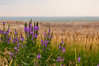 Badlands Lupines by wenzday01