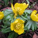 Small photo of Aconite