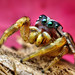 Adult Male Jumping spider (Pelegrina pervaga)