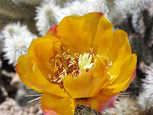 wild arizona cactus orange mountains flower yellow 1025fav cacti flora desert blossom hiking hike bloom scottsdale backlit pollen opuntia cactaceae sonoran wildflower cholla buckhorn mcdowell teddybearcholla buckhorncholla opuntiaacanthocarpa 200v10f awesomenature cylindropuntia acanthocarpa arizonaflora mcdowellsonoranpreserve cylindropuntiaacanthocarpa azflora alhikesaz chollablossom sunrisepeaktrail arizonahighwaysflowers intphoenix