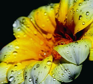 Yellow daisy and drops